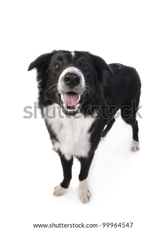 Border Collie Dog standing looking up with mouth open isolated on white background - stock photo
