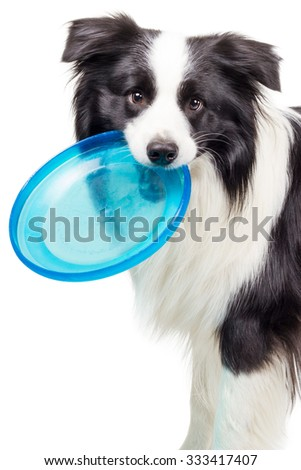 Border Collie Dog with Frisbee Disc from the side - stock photo