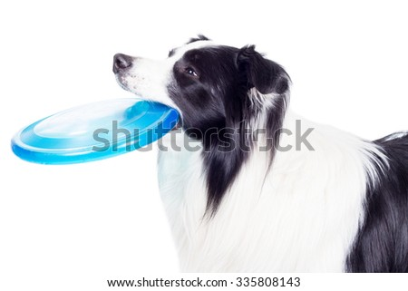 Border collie dog with frisbee in his mouth looks aside - stock photo