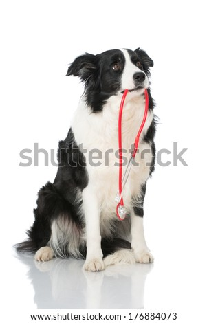 border collie holding stethoscope in mouth - stock photo