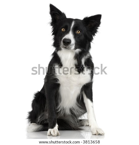 Border Collie in front of a white background - stock photo