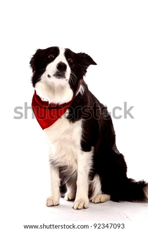 Border Collie in front of a white background with red banana - stock photo