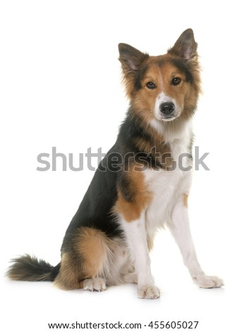 border collie in front of white background - stock photo