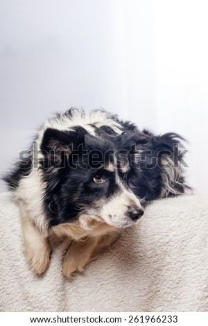 border-collie in studio - stock photo
