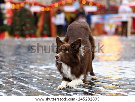 Border collie in the city - stock photo