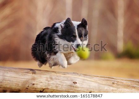 Border Collie jumping over a log on the ball - stock photo