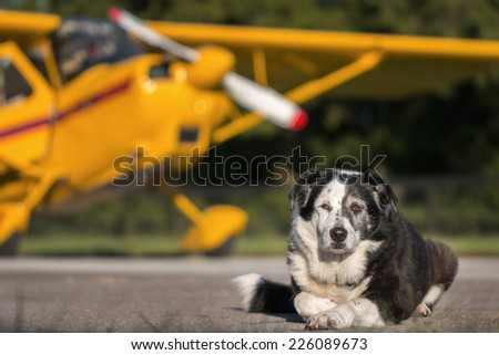 Border Collie mix breed dog lying down on runway in front of yellow plane with propeller and wing looking relaxed wise knowing calm dismissive tired worn out courageous - stock photo