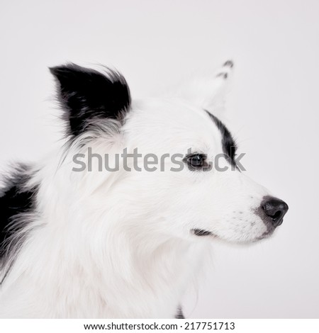 border collie mixed breed, high key - stock photo