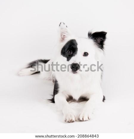 border collie mixed breed high key, lying - stock photo