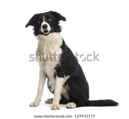 Border Collie, 8 months old, sitting and looking up in front of white background - stock photo