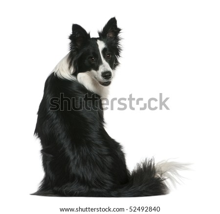 Border Collie, 16 months old, sitting in front of white background - stock photo