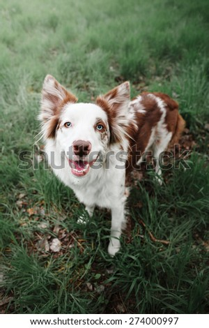 Border Collie on the grass - stock photo