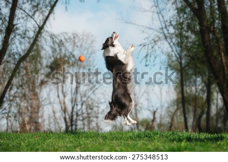 Border Collie playing with a ball - stock photo