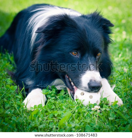 Border collie playing with a plastic ball - stock photo