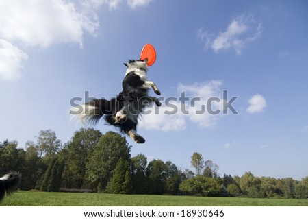 Border collie playing with frisbee - stock photo
