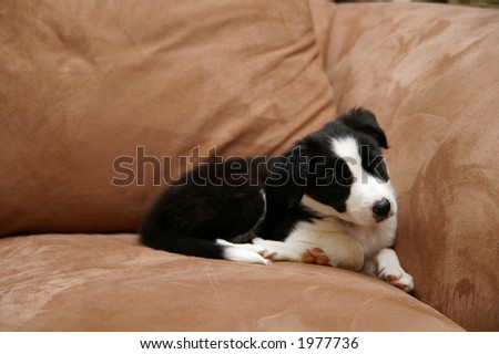 Border collie puppy - stock photo
