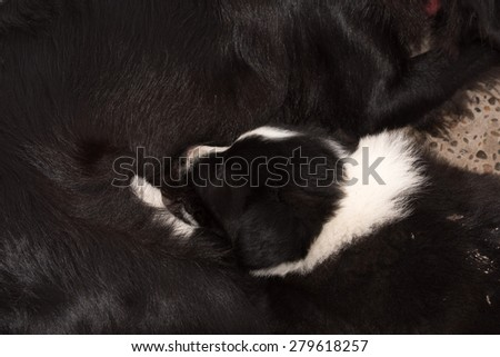 border collie puppy and mother dog portrait in a farm - stock photo