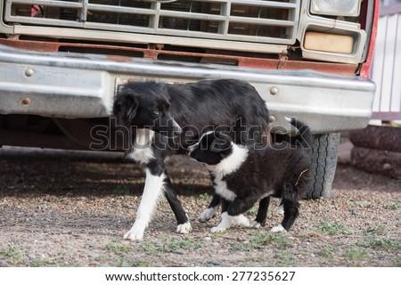 border collie puppy dog portrait in a farm - stock photo