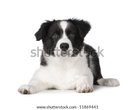 Border Collie Puppy in front of a white background - stock photo