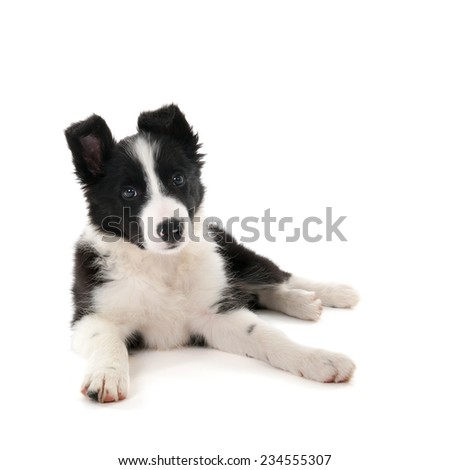 Border Collie puppy in studio isolated over white background - stock photo