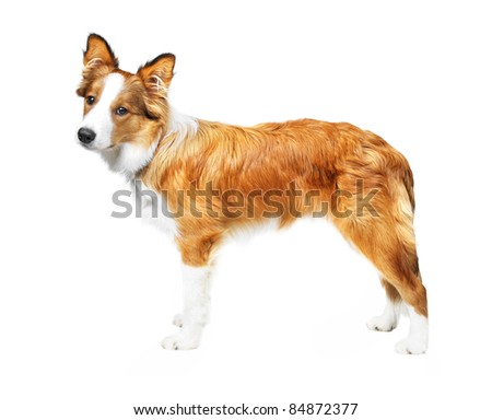 border collie puppy isolated on white background - stock photo
