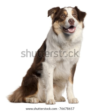 Border Collie puppy, 11 months old, sitting in front of white background - stock photo