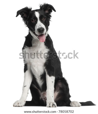 Border Collie puppy, 5 months old, sitting in front of white background - stock photo