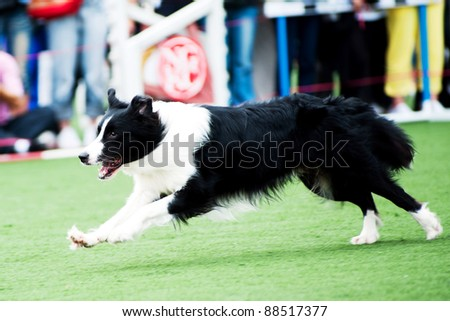 Border Collie running on the playground - stock photo