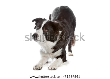border collie sheepdog - stock photo