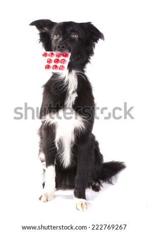 Border collie sitting and holding a pills on a white background  - stock photo