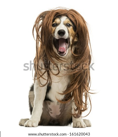 Border Collie sitting with a red hair wig, isolated on white - stock photo