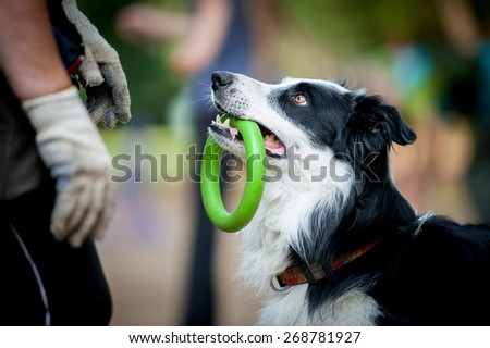 border collie with the ring watching to owner - stock photo