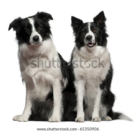 Border collies 1 and 9 years old, sitting in front of white background - stock photo