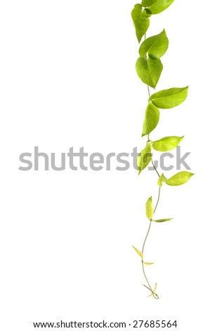 Border made of green ivy - stock photo