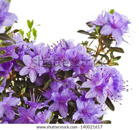 Border of Blooming Rhododendron (Azalea) close-up isolated on a white background - stock photo