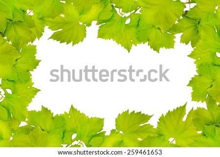 Border of fresh grape leaves isolated on white - stock photo
