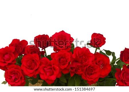 border of scarlet roses  isolated on white background - stock photo