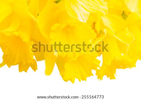 border of spring yellow daffodils close up isolated on white background - stock photo