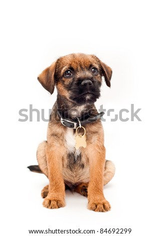 Border terrier puppy with collar tag - stock photo