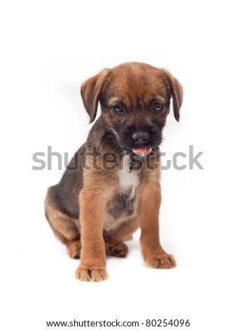 Border terrier puppy with tongue stuck out - stock photo