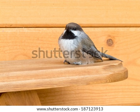 Boreal Chickadee, Poecile hudsonicus, small passerine bird of tit family Paridae sitting on wood lumber - stock photo