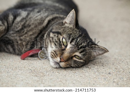 Bored male tabby cat laying on cement patio on a hot summer day. - stock photo