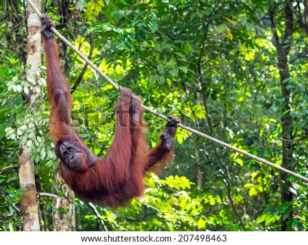 Borneo Orangutan at the Semenggoh Nature Reserve in Kuching, Sarawak State, Malaysia.  - stock photo
