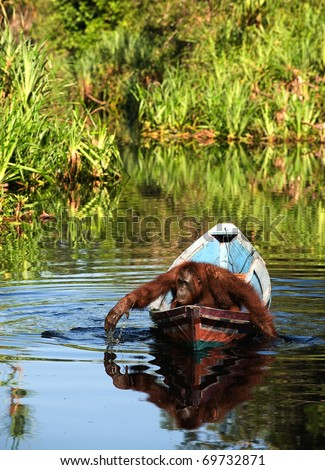 Borneo the pirate. The orangutan floats in a boat, rowing with hands, as oars. Borneo, Indonesia. - stock photo
