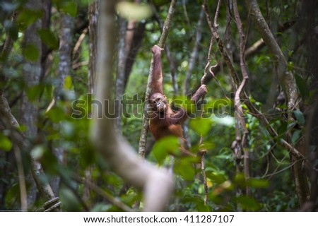Borneo wild Orang Utan hanging on a branch in the forest. Slightly blurred around due to focus on the orang utan. - stock photo