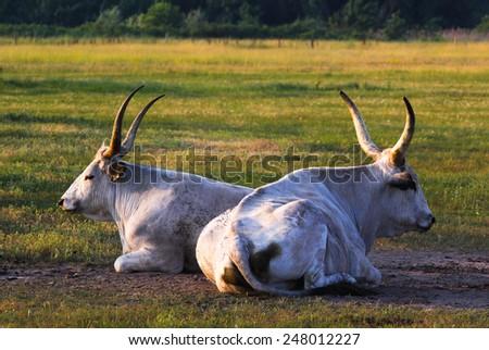 Bos primigenius taurus hungaricus - stock photo