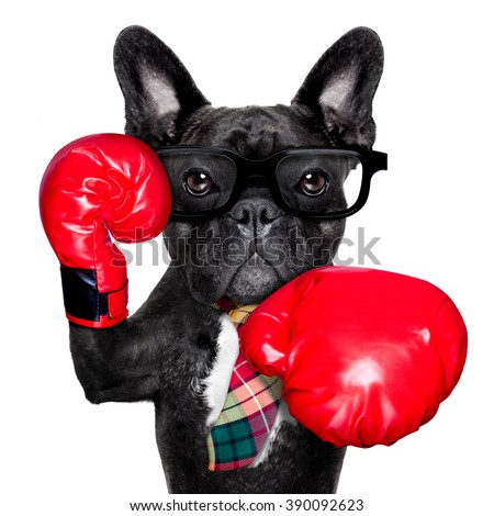 boss officer worker french bulldog boxing dog with big red gloves isolated on white background - stock photo