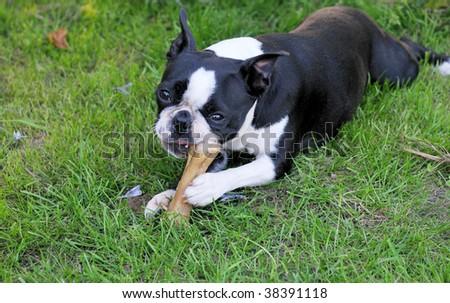 Boston Terrier - stock photo