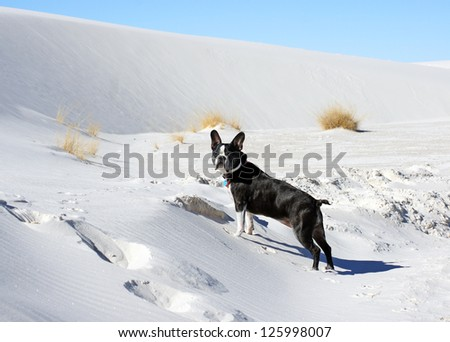 Boston Terrier attempts to climb the dunes at the White Sands National Monument - stock photo