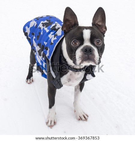 Boston Terrier Dog in Snow Wearing Blue Jacket - stock photo